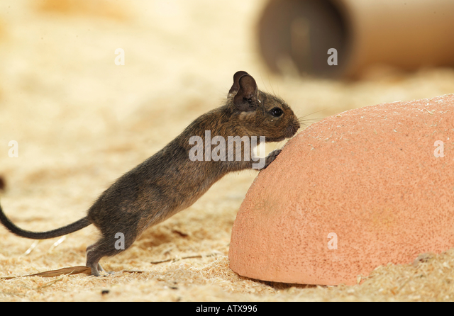 young degu at upside down dish / octodon spp. - Stock Image