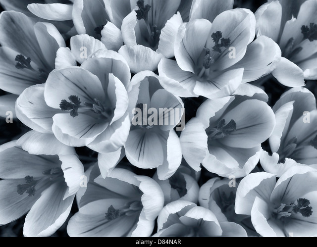 Blooming white crocus. Oregon - Stock Image