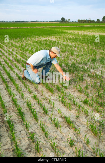 A farmer (grower) kneeling down in his field inspecting the progress of his early growth rice crop / Arkansas, USA. - Stock Image