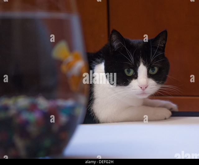 Black and white cat peers in goldfish bowl - Stock Image
