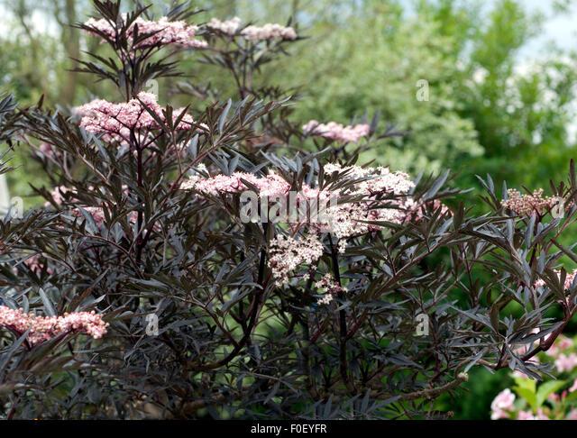 sambucus nigra 39 black lace 39 stock photos sambucus nigra. Black Bedroom Furniture Sets. Home Design Ideas