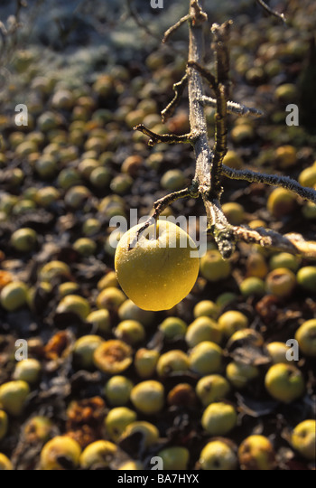 Waste Apples golden delicious left to rot UK - Stock Image