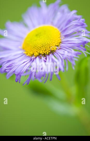 Erigeron Asteraceae/Compositae - Stock Image