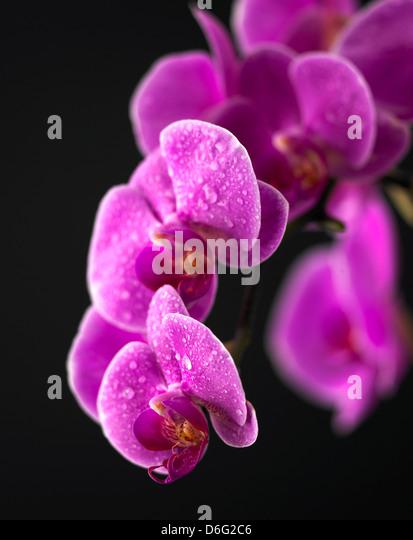 Purple Phalaenopsis orchid - Stock Image