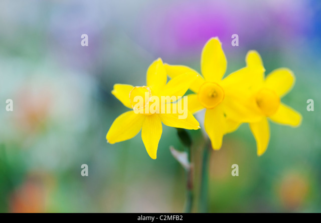 Narcissus assoanus. Miniature daffodil flowers. Abstract - Stock-Bilder