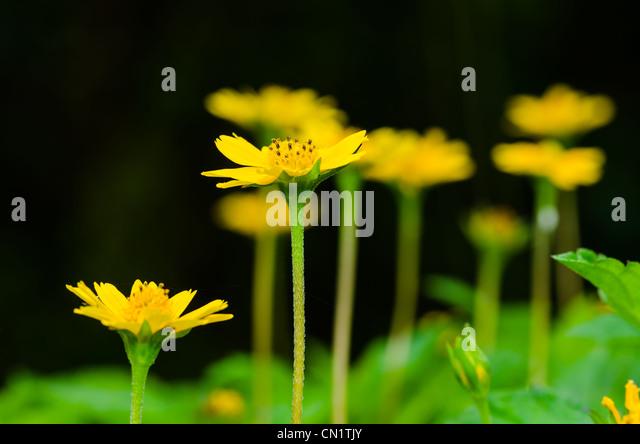 Melampodium divaricatum or Little yellow star in green nature - Stock Image
