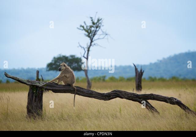 Yellow baboon Papio cynocephalus 'riding wooden horse ' Mikumi national park.Tanzania Africa. - Stock Image