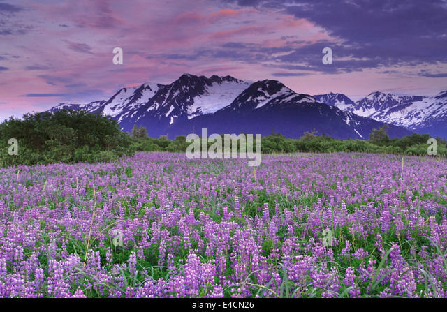 Field of Lupine wildflowers along Turnagain Arm, Chugach National Forest, Alaska. - Stock Image