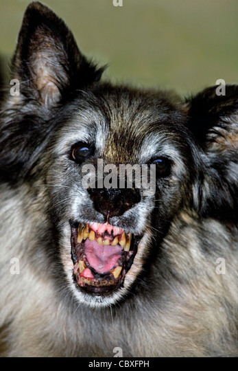 Old terrifying Tervuren Belgian Shepherd Dog showing open mouth with ugly, rotten teeth - Stock Image