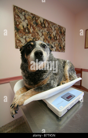 overweight embarassed dog on scale at veterinarian office/animal hospital - Stock Image