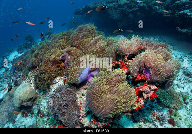 Coral reef covered with Magnificent Sea Anemones, (Heteractis magnifica), Lhaviyani Atoll, Indian Ocean, Maldives - Stock Image