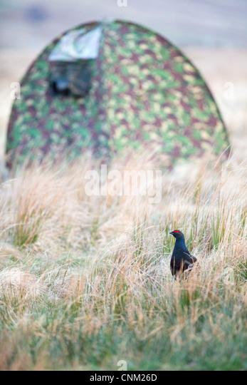 Black Grouse; Tetrao tetrix; photography of male; lekking; Scotland; UK - Stock Image