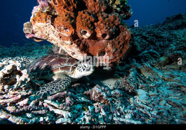 Green turtle (Chelonia mydas), Sulawesi, Indonesia, Southeast Asia, Asia - Stock Image