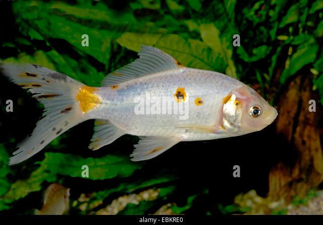 Fish breeding aquarium stock photos fish breeding for Baby carp for sale