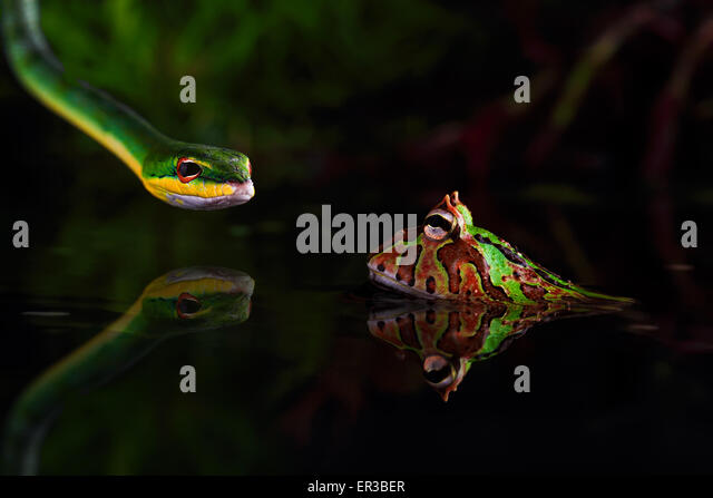 Snake hunting a toad - Stock Image
