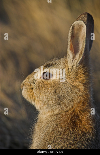 Cottontail rabbit - Stock Image