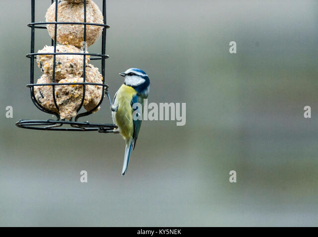 Oakham 13th January 2018 : Garden birds during the cold spell relay on residents garden feeders, RSPB big garden - Stock Image