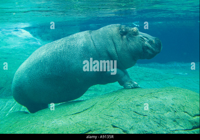 The hippopotamus (Hippopotamus amphibius), from the Greek is a large, mostly plant-eating African mammal - Stock-Bilder