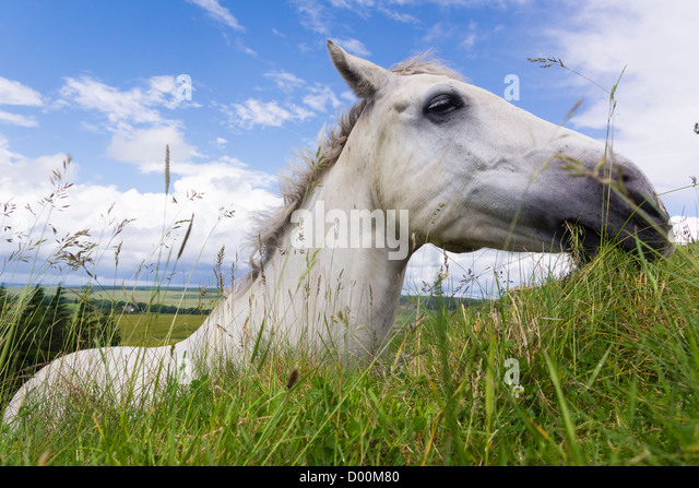 A horse eating fresh grass growing on top of Hadrian's Wall, Northumberland, England, UK. - Stock-Bilder