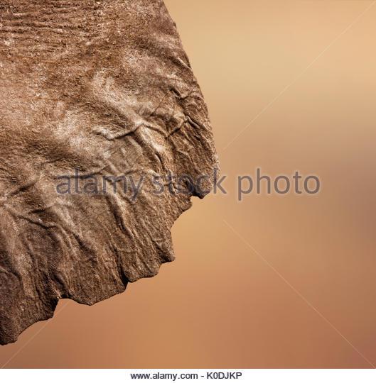 Elephant (Loxodonta Africana) ear seen from behind - Stock Image