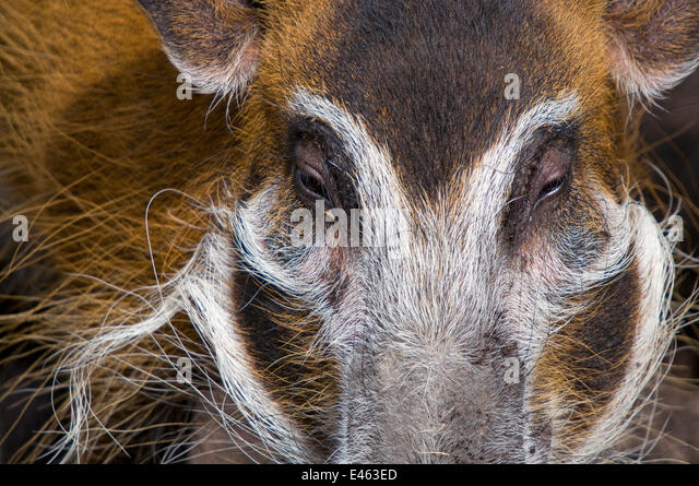 Red river hog (Potamochoerus porcus) close up of head, captive - Stock Image