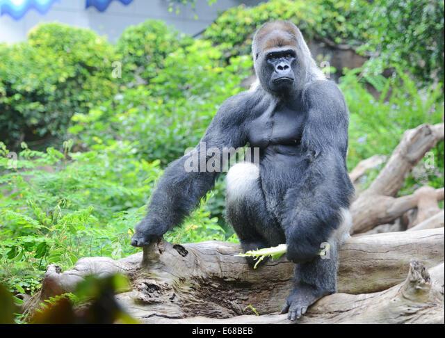 Loro Parque, Tenerife, Canary Islands, Silverback Gorilla, Loro wildlife park or zoo, Tenerife, Spain - Stock Image