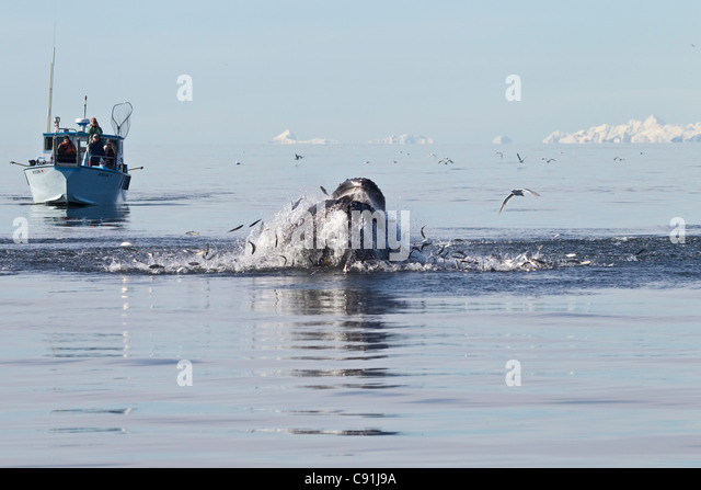 Humpback whale surfacing through a school of herring with boat of whale watchers in background, Prince William Sound, - Stock Image