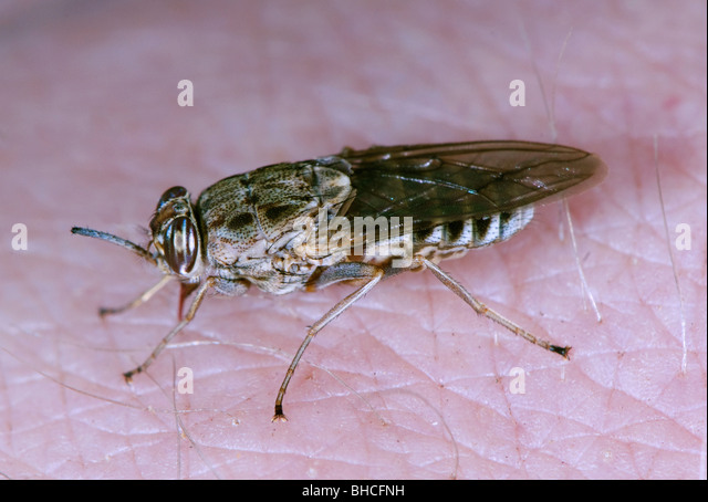 Tsetse fly biting and feeding on a person. - Stock Image