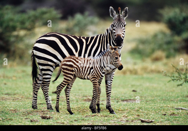 Common Zebra (Equus burchelli) with foal, Serengeti, Tanzania, East Africa - Stock Image