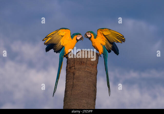 A pair of Blue-and-yellow Macaws on their nest tree - Stock Image
