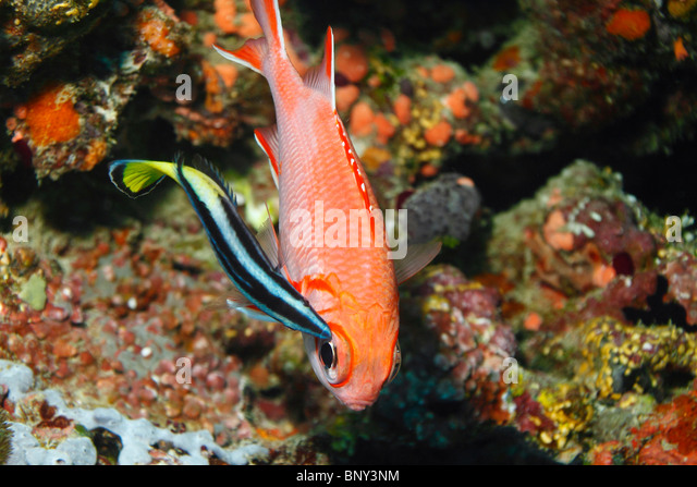 Blue striped wrasse stock photos blue striped wrasse for Big eye squirrel fish