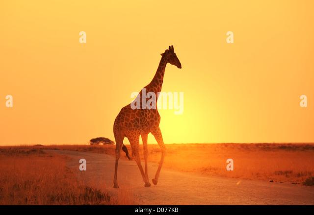 giraffe in savannah - Stock-Bilder