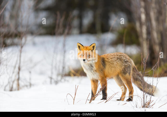 Red fox in winter time in Jokkmokk, Swedish lapland, Sweden - Stock Image