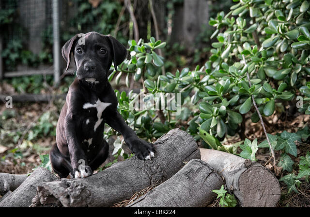 Portrait of small black puppy in nature with front feet up on logs - Stock Image