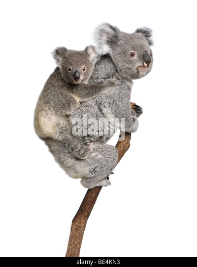 Koala bears climbing tree, 4 years old and 9 months old, Phascolarctos cinereus, in front of white background - Stock-Bilder
