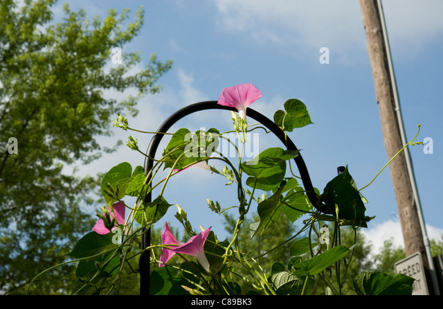 Morning glory vines reaching towards the sun. - Stock Image