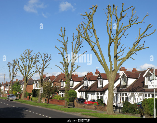 Extreme tree surgery Chester Road Grappenhall Warrington England UK WA4 2PL Spring 2013 - Stock Image