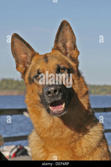 German Shepherd Close Up Stock Photos & German Shepherd ...