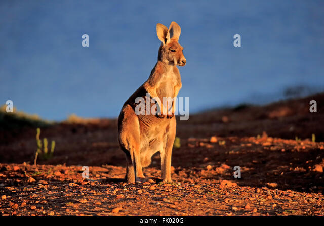 Red Kangaroo, adult, Sturt Nationalpark, New South Wales, Australia / (Macropus rufus) - Stock Image