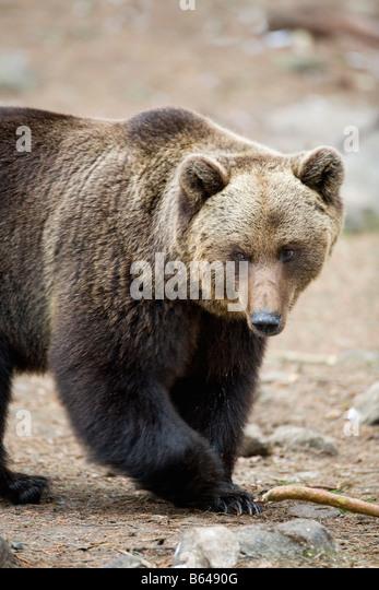 Finland, Ruhtinansalmi, near Suomussalmi, Wildlife Centre Martinselkonen Erakeskus. Brown bear. Ursus arctos. - Stock-Bilder
