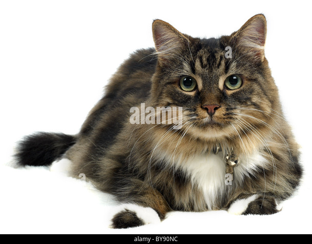 A maine coon tabby cat, a pedigree pet. - Stock Image