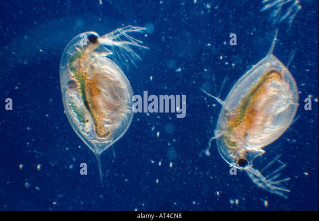common water flea (Daphnia longispina) - Stock Image