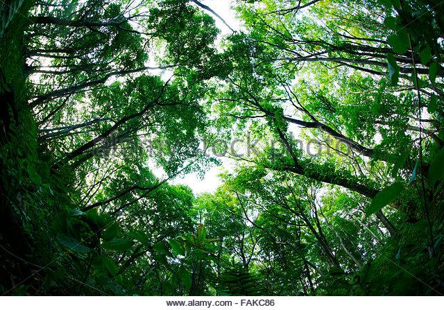 Engler Beech forest - Stock Image