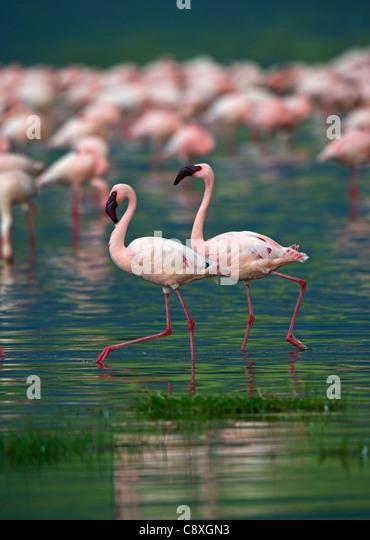 Lesser Flamingos Phoenicopterus minor on Lake Nakuru Kenya - Stock Image