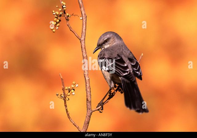 Northern Mockingbird Perched in Poison Ivy - Stock-Bilder
