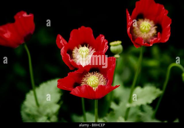 Red wild poppy Latin name: papaver rhoeas - Stock Image