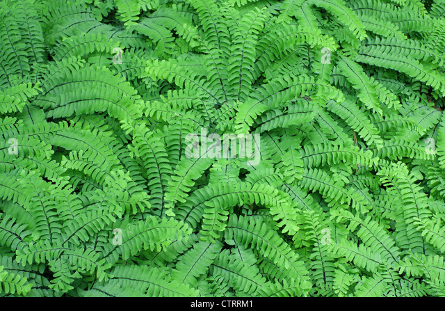 oregon green ferns - photo #48