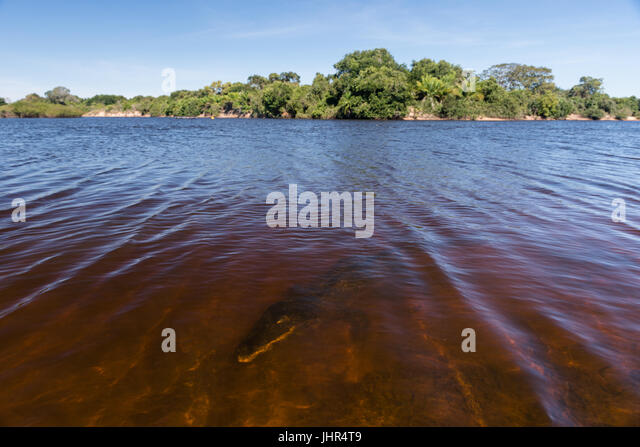 A caiman underwater on a Pantanal River - Stock Image