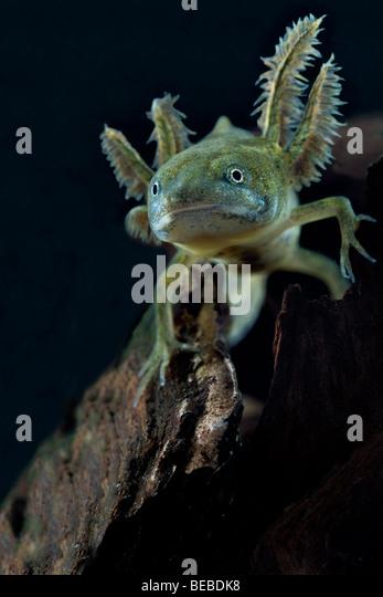 Great crested newt larva showing its gills - Stock-Bilder