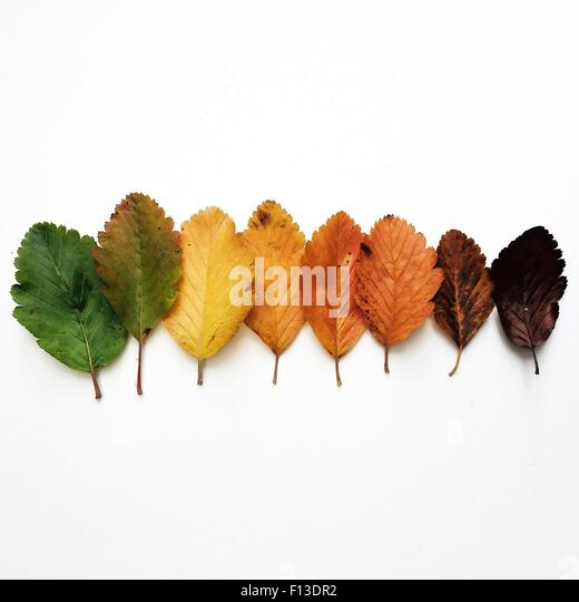 Colorful autumn leaves in a row - Stock Image